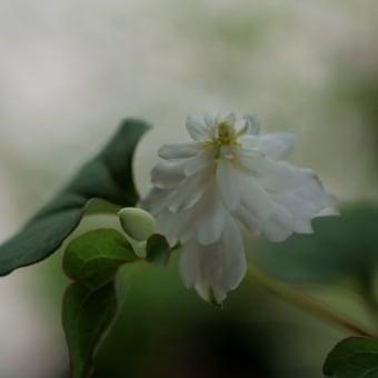 ●我が家の6月の花 八重のドクダミ(白雪姫) ユキノシタ(雪の下)ヒラタアブ