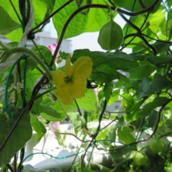2020年8月前半のゴーヤ日記 8/2:11個目収穫、8/4:雌花に受粉