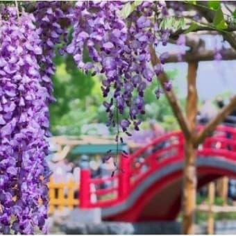 ◆東京:亀戸フジ見事・・・藤まつり