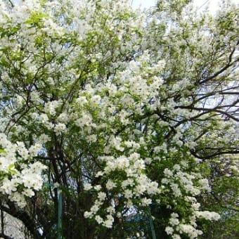 春、白い樹木花