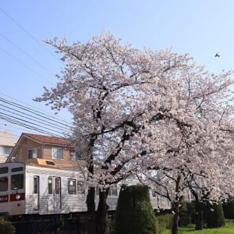 満開の桜と8500系