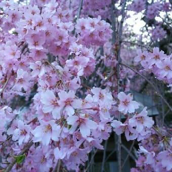 【楽翁桜開花状況 4月18日 満開】