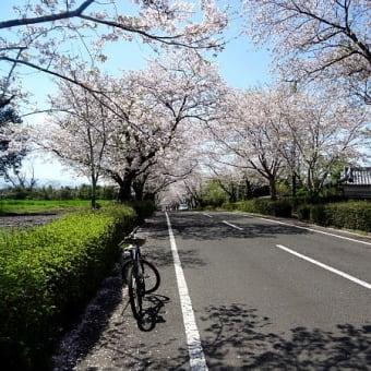 韓国岳のレットさんと、楽輪号で満開の桜、見物。