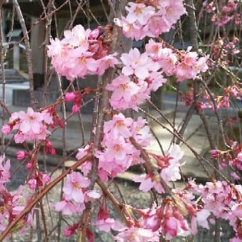 【楽翁桜開花状況 4月14日 七分咲き】
