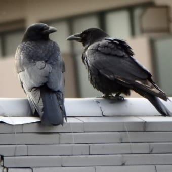 白い羽のあるカラスが住宅街に巣を作っていた