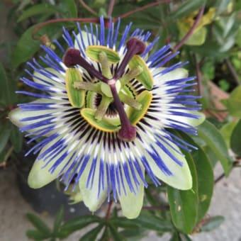 近所で見た花④ (トケイソウ、ムシトリナデシコ、バイカウツギ、ノコギリソウなど)