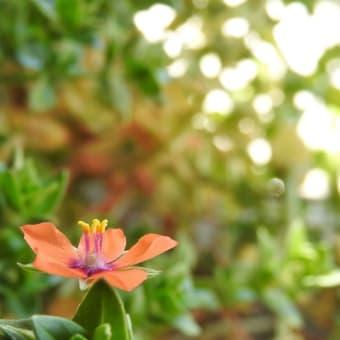 アカバナルリハコベ    時空を超える赤い船    千葉県市川浦安アスファルト脇植物園・自宅