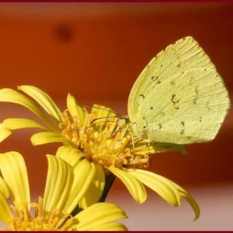 ツワブキと蝶