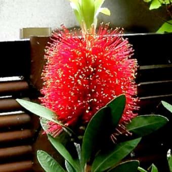 庭の花木 (6月)ブラシノキ、シモツケ、アジサイ、ヘピリカム等。