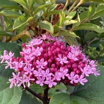 ボタンクサギの可愛い花
