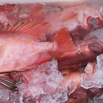 地物のブリやワラサが好調!小田原魚市場|JSフードシステム