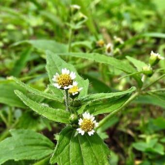 ハナコゴメギク(花小米菊)   植物たちへの感謝をことばにする、できるだけうつくしいことばで   千葉県船橋市