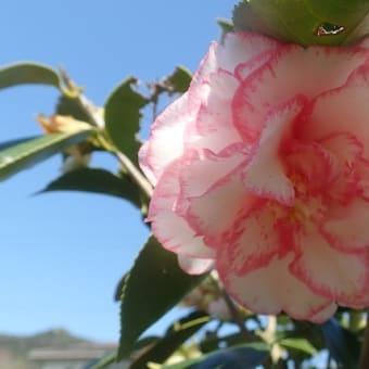 洋風な ツバキですが 古い品種の シュチュウカ(酒中花)です ♡
