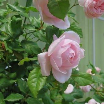 バラの癒しと目覚しい回復力♪