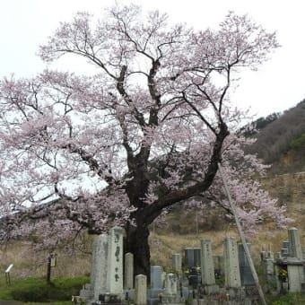 清水(しょうず)の桜 樹齢300年以上 (滋賀県高島市)