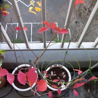Myガーデンのカラフルな葉