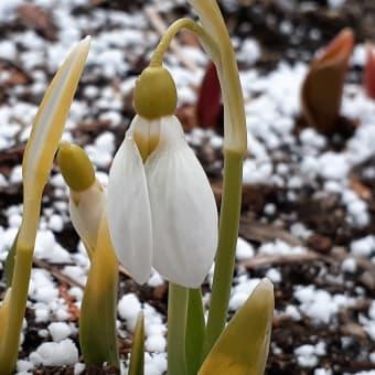 お花で一休み(35) 大通公園の待雪草