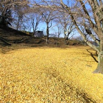 沖縄のイチョウの木