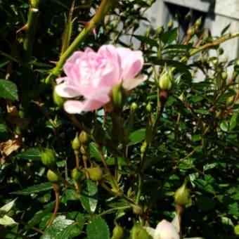 ミニバラが咲き始めています