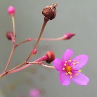 ハゼラン   僕の好きが全部ある    千葉県市川浦安アスファルト脇植物園・自宅