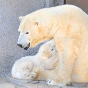 円山動物園のシロクマ君 お披露目2015.4 前篇