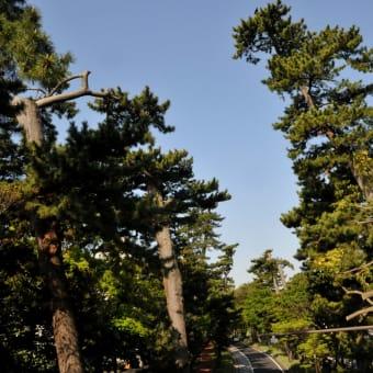 <大磯の松> 東海道松並木