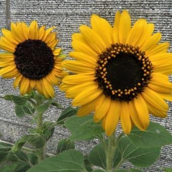 梅雨明け直前の近所の花 (ミニヒマワリと白い花達)