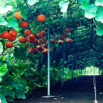 【畑の中に葉っぱのドーム住宅発見!】