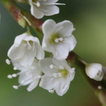 シロバナサクラタデ(白花桜蓼)