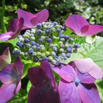 紫陽花「小桜姫」 2