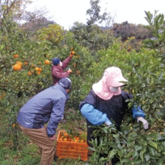 日高川町で高齢化する農家の強い味方、シルバー人材センターに農作業依頼増 〈2020年1月17日〉