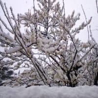 冬梅の既に情を含めをり。