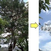 境界側にある赤松の枝がお隣の敷地に張りだし松葉が落ちご迷惑になり枝おろし作業ご依頼