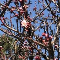 一輪の梅の花が