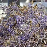 日高川町みやまの里藤棚ロード  フジ開花、来週末から見ごろ 〈2021年4月9日〉