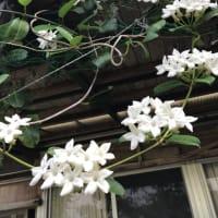 ジャスミンと紫陽花 /沖永良部島も梅雨入間近?