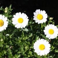 おはようの花」 ノースポール 12月
