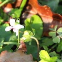 『 愛呼がね菫の葉裏で眠っているよ 』瘋癲老仁妄詩zqw1802