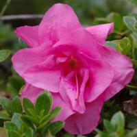 ツワブキの花と今咲く皐月の花二輪