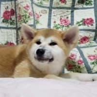 秋田犬の仔犬を販売致しておりますm(_ _)m