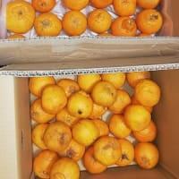 柑橘  不知火(しらぬい) を通販で購入しました。