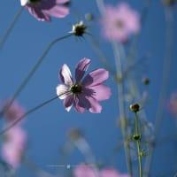 鎌倉の秋桜【浄妙寺】毎年通う名刹のあの場所。今年は・・