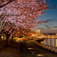 徳島中央公園の蜂須賀桜