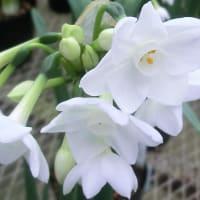 ペーパーホワイトの花は