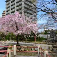岐阜公園周辺のサクラ
