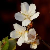 シキザクラ(四季桜)‐ 柳川瀬公園