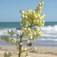 浜に咲くユッカ