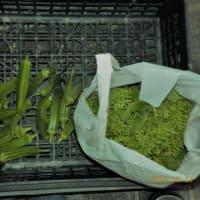 今日の収穫 オクラ ナス 青ジソの実