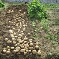 ジャガイモを掘った