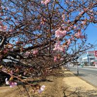 河津桜が咲き始めました